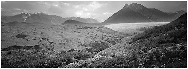 Lupines, moraine, and glacier. Wrangell-St Elias National Park (Panoramic black and white)