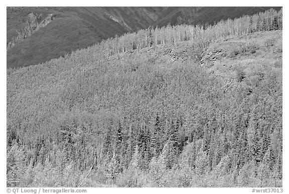 Forested hill. Wrangell-St Elias National Park (black and white)