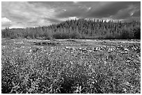 Fireweed along river. Wrangell-St Elias National Park, Alaska, USA. (black and white)