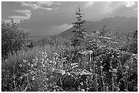 Wildflowers and mountains near Kennicott. Wrangell-St Elias National Park, Alaska, USA. (black and white)