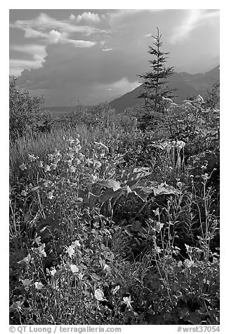 Variety of wildflowers near Kennicott. Wrangell-St Elias National Park (black and white)
