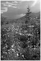 Variety of wildflowers near Kennicott. Wrangell-St Elias National Park, Alaska, USA. (black and white)