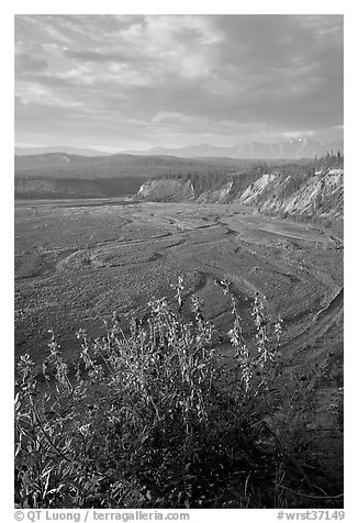 Fireweed, Kotsina river plain, and bluffs. Wrangell-St Elias National Park (black and white)