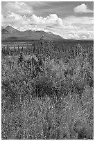 Fireweed, tundra, and Mentasta Mountains. Wrangell-St Elias National Park, Alaska, USA. (black and white)