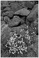 Alpine flowers and volcanic boulders. Wrangell-St Elias National Park, Alaska, USA. (black and white)