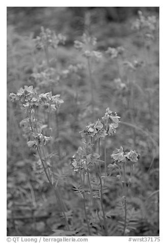 Blue wildflowers. Wrangell-St Elias National Park (black and white)