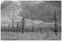 Meadow covered with white wildflowers, and spruce trees. Wrangell-St Elias National Park, Alaska, USA. (black and white)