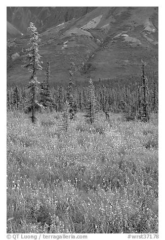 Wildflowers and spruce trees. Wrangell-St Elias National Park (black and white)