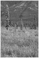 Wildflowers and spruce trees. Wrangell-St Elias National Park, Alaska, USA. (black and white)