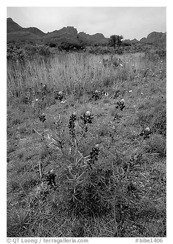 Desert flowers and Chisos Mountains. Big Bend National Park (black and white)