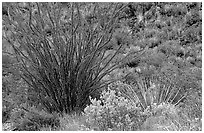 Purple flowers and occatillo. Big Bend National Park, Texas, USA. (black and white)