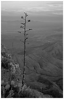 Agave stilt on South Rim, sunset. Big Bend National Park, Texas, USA. (black and white)
