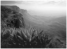 Agaves on South Rim, morning. Big Bend National Park, Texas, USA. (black and white)
