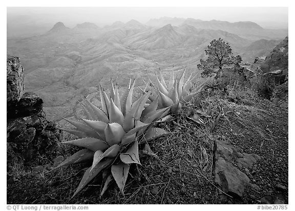 Agaves on South Rim overlooking desert mountains. Big Bend National Park (black and white)