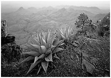 Agaves on South Rim overlooking desert mountains. Big Bend National Park, Texas, USA. (black and white)