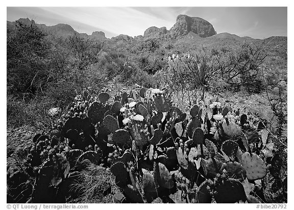 Yellow prickly pear cactus in bloom and Chisos Mountains. Big Bend National Park (black and white)