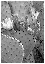 Beavertail cactus in bloom. Big Bend National Park, Texas, USA. (black and white)