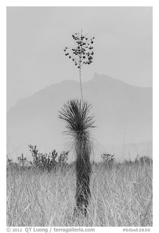 Dagger Yucca past bloom and Chisos Mountains. Big Bend National Park (black and white)