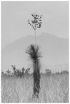 Dagger Yucca past bloom and Chisos Mountains. Big Bend National Park, Texas, USA. (black and white)