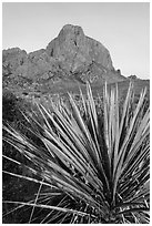 Sotol rosette and Chisos Mountains. Big Bend National Park, Texas, USA. (black and white)
