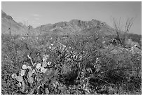 Desert vegetation and Chisos Mountains. Big Bend National Park, Texas, USA. (black and white)