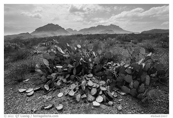 Desicatted cacti during desert drought. Big Bend National Park (black and white)