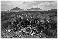 Desicatted cacti during desert drought. Big Bend National Park, Texas, USA. (black and white)