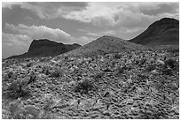 Desicatted desert plants. Big Bend National Park, Texas, USA. (black and white)