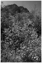 Siverleaf with purple flowers. Big Bend National Park ( black and white)