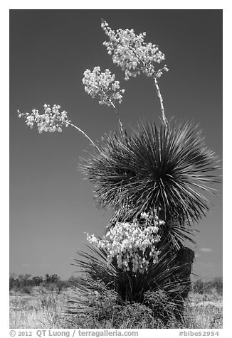 Yucca in bloom. Big Bend National Park (black and white)