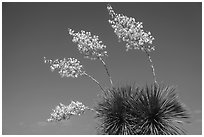 Cluster of yucca blooms. Big Bend National Park ( black and white)