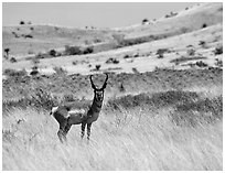 Desert Pronghorn. Big Bend National Park, Texas, USA. (black and white)