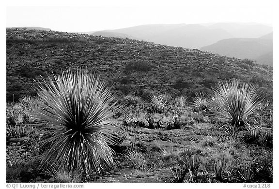 Yuccas at sunset on limestone bedrock. Carlsbad Caverns National Park (black and white)