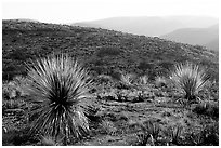 Yuccas at sunset on limestone bedrock. Carlsbad Caverns National Park, New Mexico, USA. (black and white)