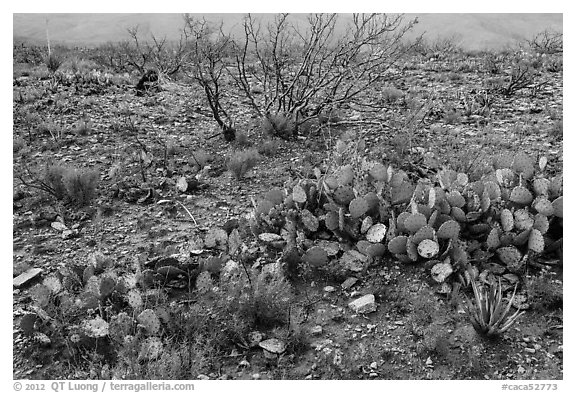 Wildflowers and cactus. Carlsbad Caverns National Park (black and white)