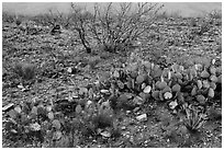 Wildflowers and cactus. Carlsbad Caverns National Park, New Mexico, USA. (black and white)