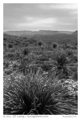 Yuccas, sky darkened by wildfires. Carlsbad Caverns National Park (black and white)