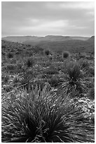 Yuccas, sky darkened by wildfires. Carlsbad Caverns National Park, New Mexico, USA. (black and white)