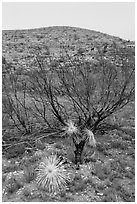 Burned yuccas and trees. Carlsbad Caverns National Park, New Mexico, USA. (black and white)