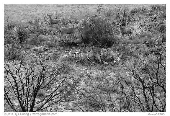 Deer in desert landscape. Carlsbad Caverns National Park (black and white)