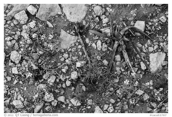 Close-up of flowers and burned desert plants. Carlsbad Caverns National Park (black and white)
