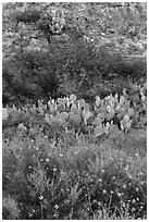 Wildflowers, cactus, shrubs, and rock. Carlsbad Caverns National Park ( black and white)
