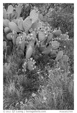 Close-up of annuals and cactus. Carlsbad Caverns National Park (black and white)