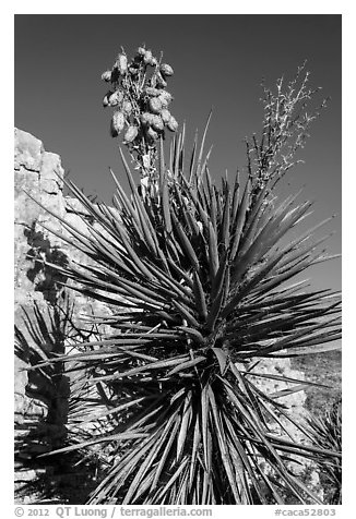 Yucca and cliff. Carlsbad Caverns National Park (black and white)