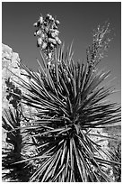 Yucca and cliff. Carlsbad Caverns National Park, New Mexico, USA. (black and white)