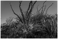 Flowering cactus and  ocotillos. Carlsbad Caverns National Park, New Mexico, USA. (black and white)