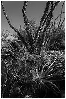 Purple blooms and ocotillos. Carlsbad Caverns National Park, New Mexico, USA. (black and white)
