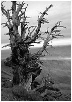 Bristlecone Pine tree near Telescope Peak. Death Valley National Park ( black and white)