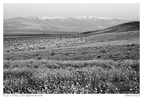 Desert Gold and Panamint Range, Ashford Mill area, dawn. Death Valley National Park (black and white)