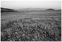 Desert Gold flowers and Panamint Range, Ashford Mill area, sunrise. Death Valley National Park, California, USA. (black and white)